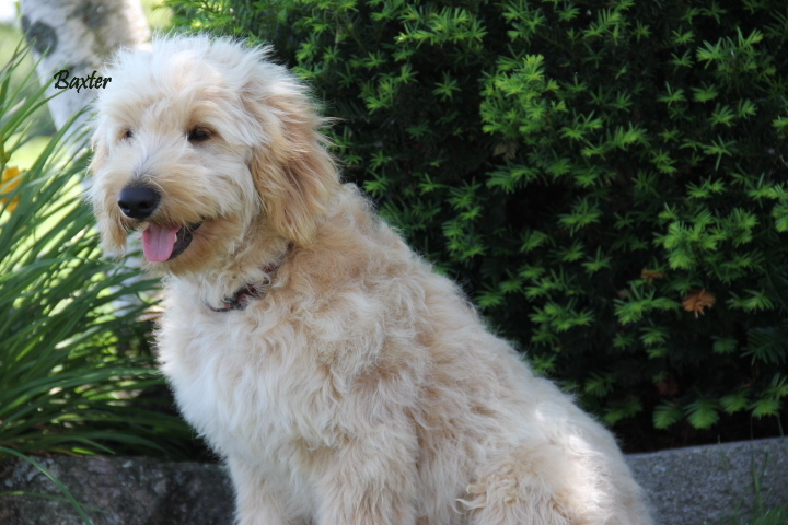 "Our English Goldendoodle sire named ""Baxter""."
