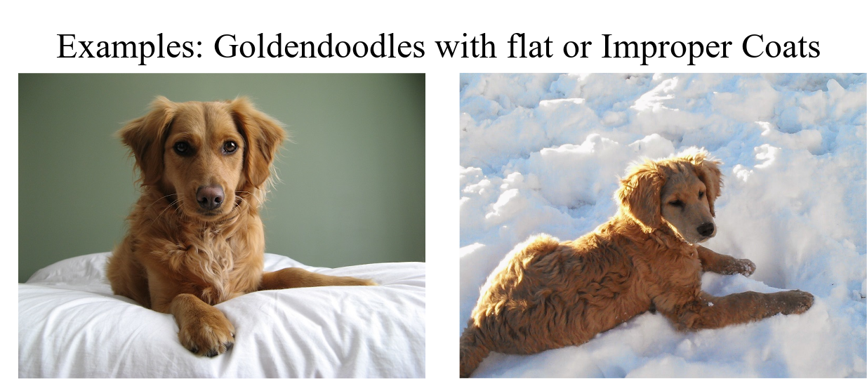 Goldendoodle Coat Types Beyond Bliss